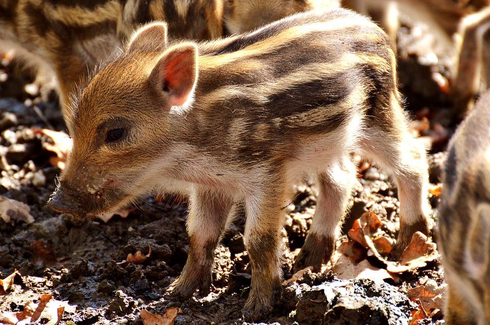 wild-pigs-3279483_960_720[1]